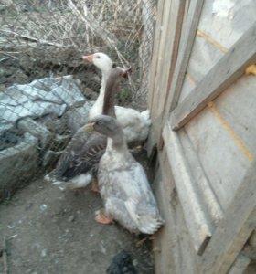 2 гуся и утка