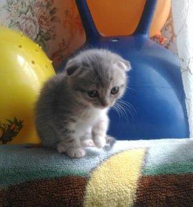 Продаю шотландскую вислоухую кошку