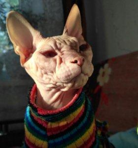 Ищу кота для вязки (сфинкс)