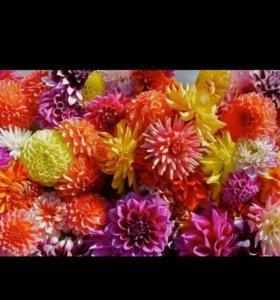 Корни георгина разного цвета