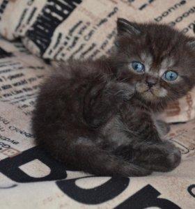 Шотландцкие котята