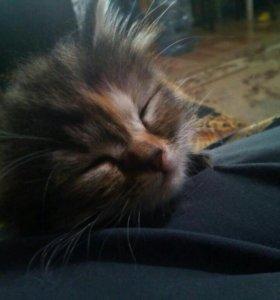 )Котята от вислоухой миниатюрной кошки 1 месяц