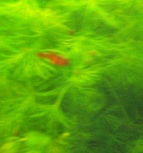 Рыбки Меченосцы 2-х месячные