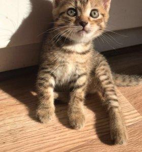 Котёнок ( Бенгальский )