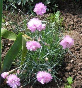 Гвоздика Шабо (садовое растение)