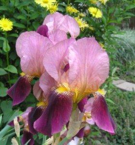 Ирис бородатый (садовое растение)