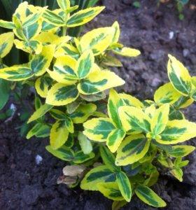 Бересклет Форчуна желтый (садовое растение)