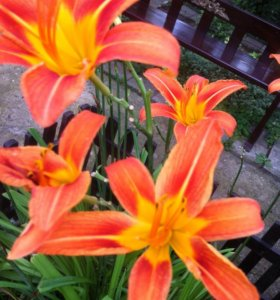 Лилейник оранжевый высокий (садовое растение)
