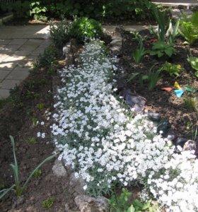 Ясколка (садовое растение)