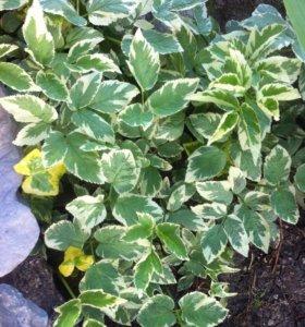 Сныть пестролистная (садовое растение)