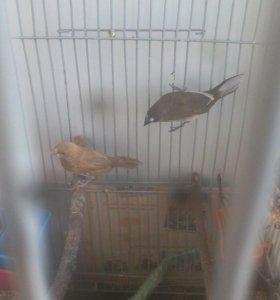 Птички амадины японские