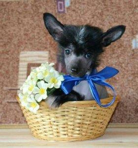Очаровательные щенки китайской хохлатой собаки