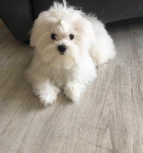 Мальтезе щенок