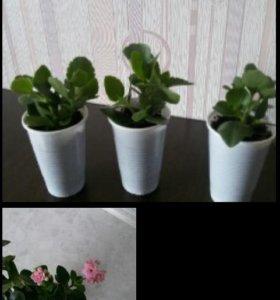 Комнатные растения (декабрист, каланхоэ)