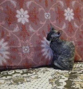 Кошечки сфинксы