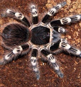 паук Белоколенный птицеед