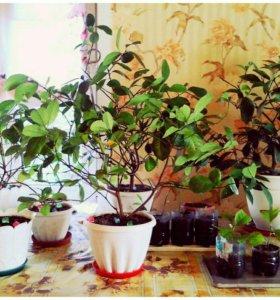 Дерево и саженцы лимонов 🍋