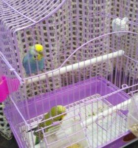 Продаю двух попугаев,мальчик с девочкой,с клеткой.