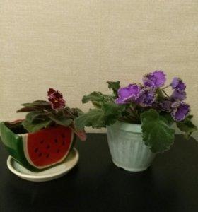 Фиалки взрослые растения в керамическом горшке