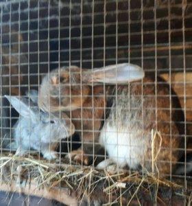 кролики бельгийский великан+советская шиншила.