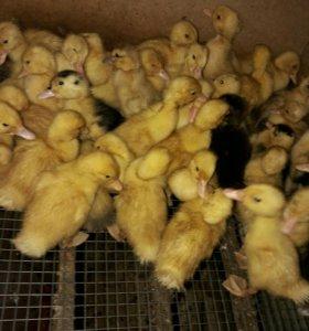 Цыплята утят