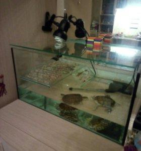 Красноухие черепахи 4 года