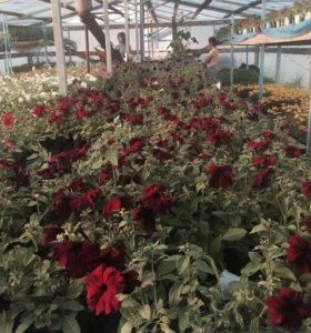 Продаю рассаду цветов