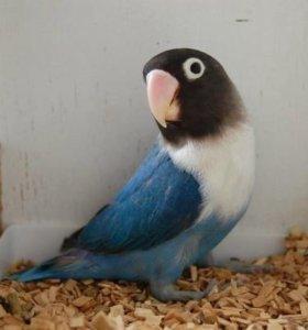 Пара синих попугаев-неразлучников в золотой клетке