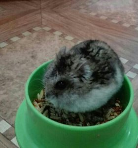 Джунгарский хомячок вместе с клеткой