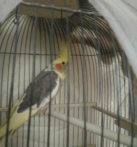 Попугай карелло