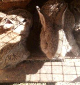 Кролики породистые. Мясная порода.