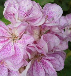Сортовые пеларгонии махровые розебудные