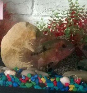Рыбы Цихлиды Винный бражник