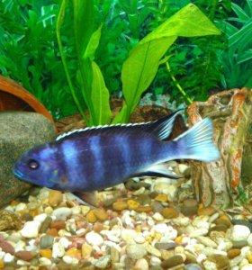 Рыбки Псевдотрофеус Зебра 9 мес. Осталось 2 пары.