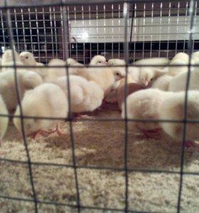 Цыплята серебрянки
