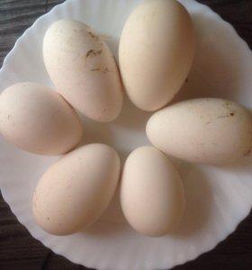 Яйцо гуся Линда и серая