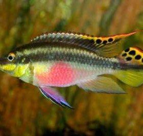 Рыбки попугайчики 4,5 см