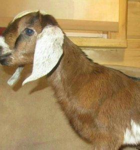 Нубийский козлик