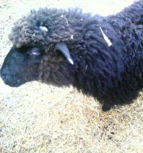 Баран и овца.4х месячные. Цена за голову.