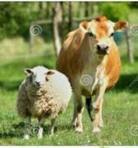 Продам коров и овец