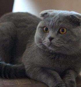 Вязка. Шотландский вислоухий котик