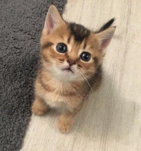 Котята британские тикированные