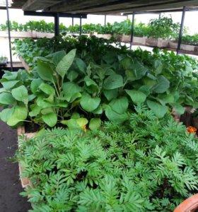 Продается рассада овощных и цветочных культур