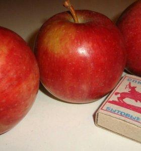Яблоня сорт Башкирская зимняя