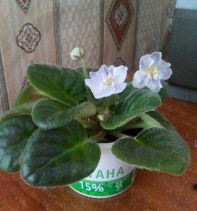 Цветы:глоксинии, фиалки, кактус ,декабрист