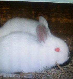 Кролики, чистокровные калифорнийцы