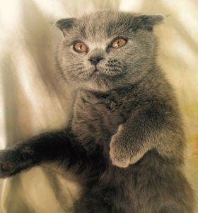 Котёнок британский