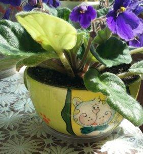 Фиалка цветущая с горшком