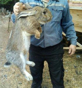 Кролики Великаны и Калифорния