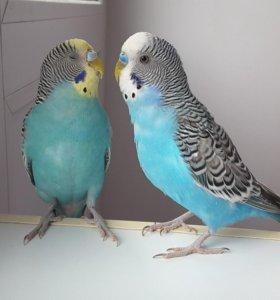 Волнистые попугаи с клеткой и гнезд.домиком